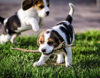 https://cf.ltkcdn.net/dogs/images/slide/188878-850x668-beagle.jpg