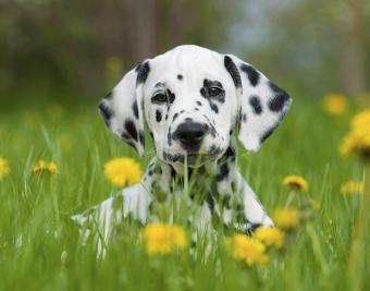 https://cf.ltkcdn.net/dogs/images/slide/188880-850x668-dalmatian.jpg
