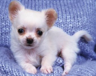 https://cf.ltkcdn.net/dogs/images/slide/188881-850x668-chihuahua.jpg