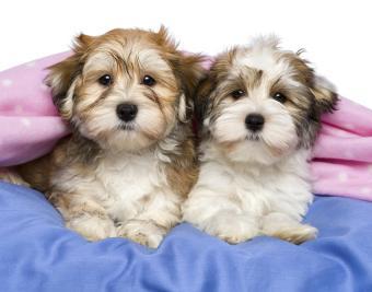 https://cf.ltkcdn.net/dogs/images/slide/188882-850x668-havanese.jpg