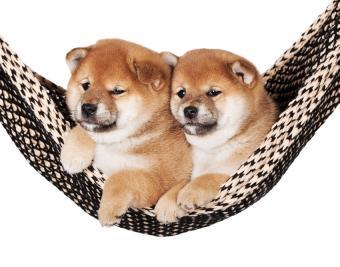https://cf.ltkcdn.net/dogs/images/slide/188883-850x668-shiba-inu.jpg