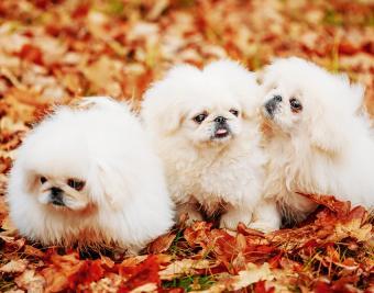 https://cf.ltkcdn.net/dogs/images/slide/188884-850x668-pekingese.jpg