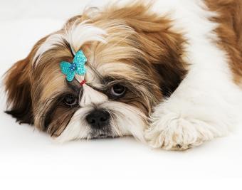 https://cf.ltkcdn.net/dogs/images/slide/188885-850x668-shih-tzu.jpg