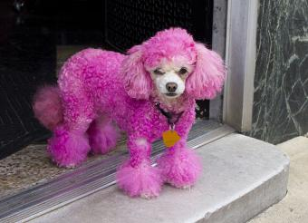 https://cf.ltkcdn.net/dogs/images/slide/190028-850x615-Pink-Poodle.jpg