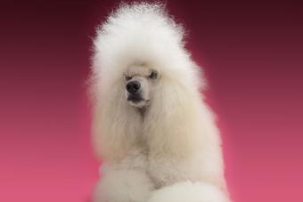 https://cf.ltkcdn.net/dogs/images/slide/190317-850x567-Long_Haired_Poodle.jpg