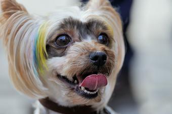 https://cf.ltkcdn.net/dogs/images/slide/190319-850x567-blue_yellow_fur_stripe.jpg