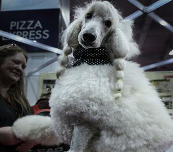 https://cf.ltkcdn.net/dogs/images/slide/190320-850x747-Large_Poodle.jpg