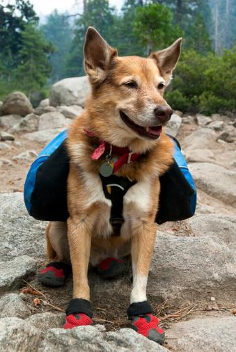 Dog with backpack