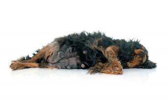 https://cf.ltkcdn.net/dogs/images/slide/194674-850x567-Resting-Pregnant-Dog.jpg