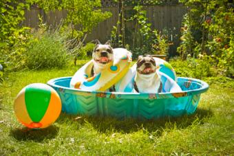 Boston Terriers with life preservers in wading pool