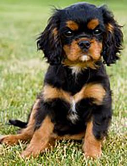Black and tan Cavalier pup