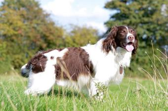 English Springer Spaniel Profile, Facts and Trivia