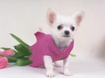Chihuahua and roses