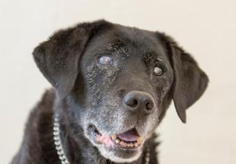 Black Labrador with cataracts