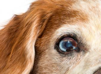 Dog with eye cyst