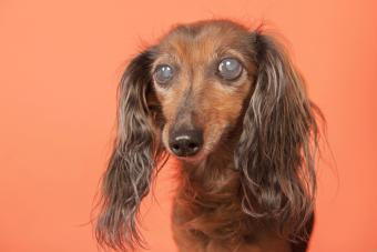 Dachshund with glaucoma