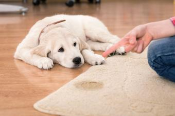 dog pee on carpet