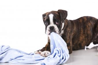 Boxer dog with blanket