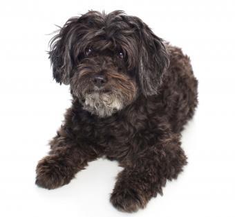 Black Schnoodle dog lying down