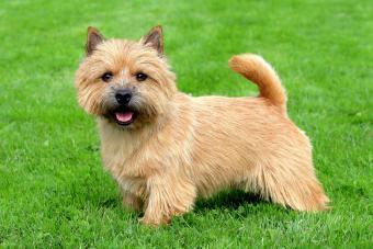 Norwich Terrier Dog Breed Info