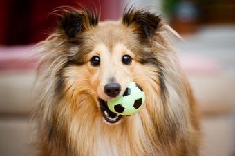 https://cf.ltkcdn.net/dogs/images/slide/207904-850x567-Shetland-Sheepdog-aka-Sheltie.jpg