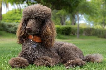 https://cf.ltkcdn.net/dogs/images/slide/208101-850x567-Poodle-in-grass.jpg