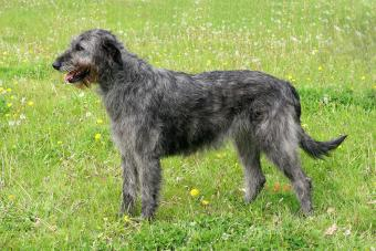 https://cf.ltkcdn.net/dogs/images/slide/208201-850x567-Irish-Wolfhound.jpg