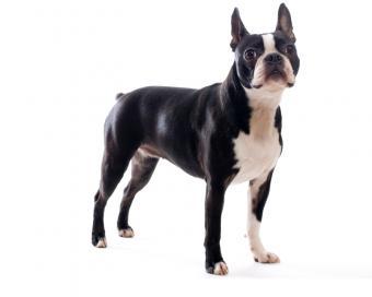 https://cf.ltkcdn.net/dogs/images/slide/208344-625x500-bostonterrier1.jpg