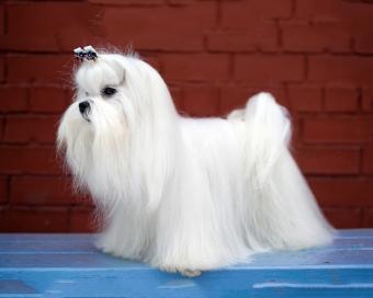 https://cf.ltkcdn.net/dogs/images/slide/208347-625x500-maltese.jpg