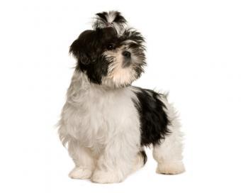 https://cf.ltkcdn.net/dogs/images/slide/208358-625x500-shihtzu.jpg