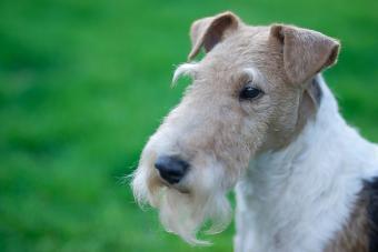 https://cf.ltkcdn.net/dogs/images/slide/208941-850x567-Fox-terrier.jpg