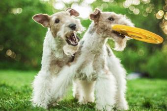 https://cf.ltkcdn.net/dogs/images/slide/208944-850x567-Two-dog-breeds-Fox-Terrier.jpg