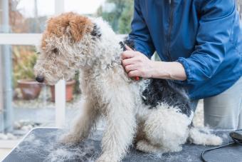 https://cf.ltkcdn.net/dogs/images/slide/208949-850x567-Trimming-of-the-Fox-Terrier.jpg