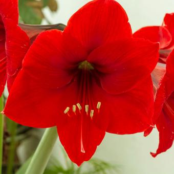 Amaryllis (Amaryllis spp)