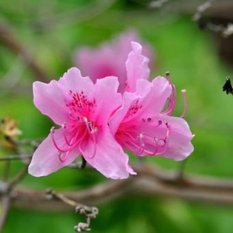 Azalea (Rhododendron spp)