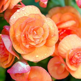 Begonia (Begonia spp)