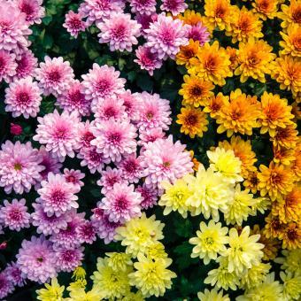 Chrysanthemum (Chrysanthemum spp)