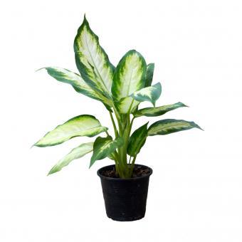 Dieffenbachia (Dieffenbachia amoena)