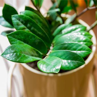 ZZ Plant (Zamioculcas)
