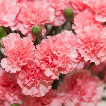Carnation (Dianthus caryophyllus)