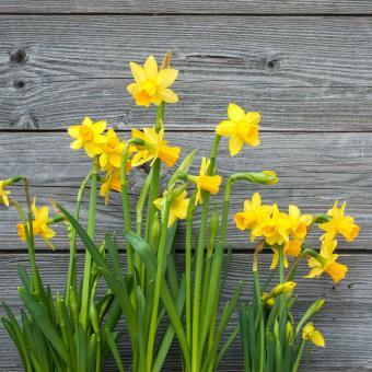 Daffodil (Narcissus spp)