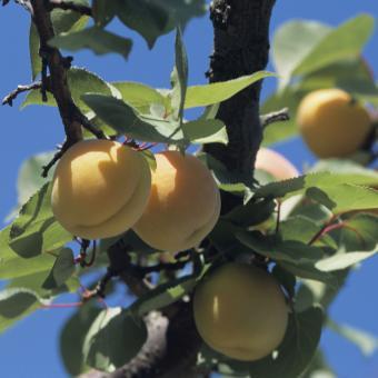 Apricot (also plum, peach, cherry)