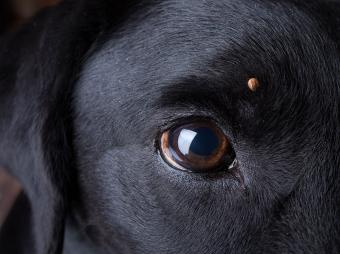 Canine Lyme Vaccine Side Effects