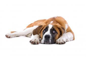 Canine Paroxetine