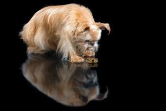 Why Can't My Dog Stop Regurgitating?