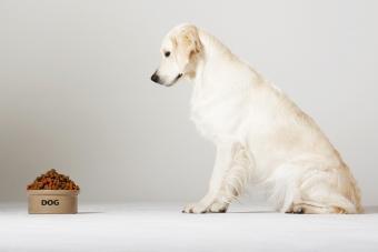 Labrador looking at his food bowl