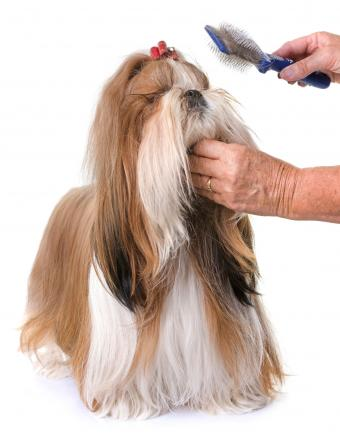 Shih Tzu with top knot