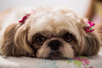 Dog with pink ribbon pony tails