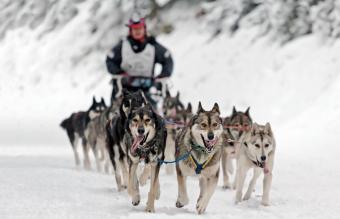 Sled Dog Training Step by Step