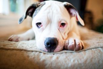 White American Bulldog up close